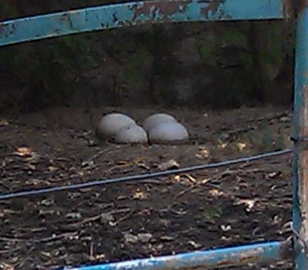 Нажмите на изображение для увеличения Название: Страусиные яйца.jpg Просмотры: 541 Размер:51.4 Кб ID:14429