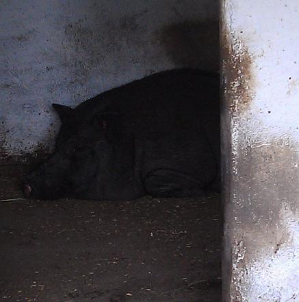 Нажмите на изображение для увеличения Название: Въетнамская свинья.jpg Просмотры: 509 Размер:84.0 Кб ID:14432