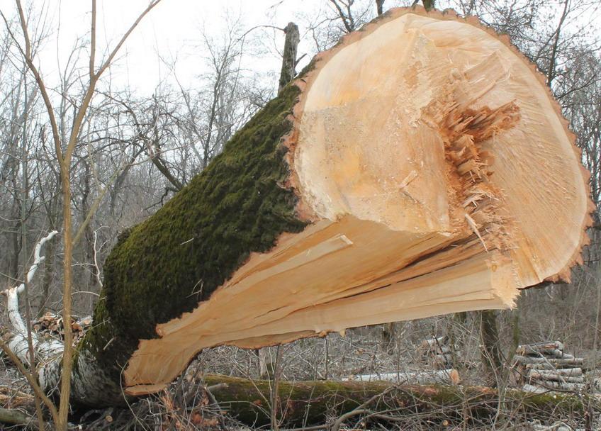 Название: 6 - Вырубленный тополь в Терновке.JPG Просмотры: 199  Размер: 234.7 Кб
