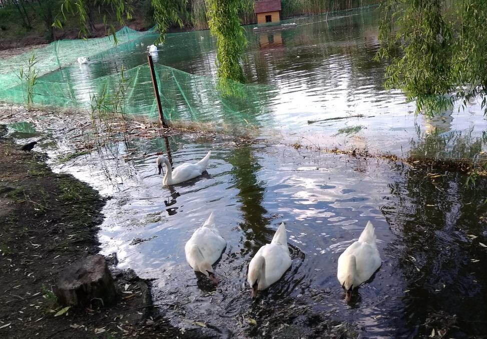 Название: Белые лебеди - озеро Тирасполь.jpg Просмотры: 2276  Размер: 316.0 Кб