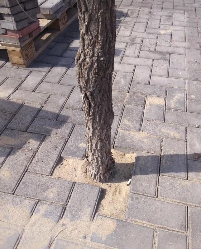 Название: Дерево в тротуарной плитке.jpg Просмотры: 206  Размер: 206.8 Кб