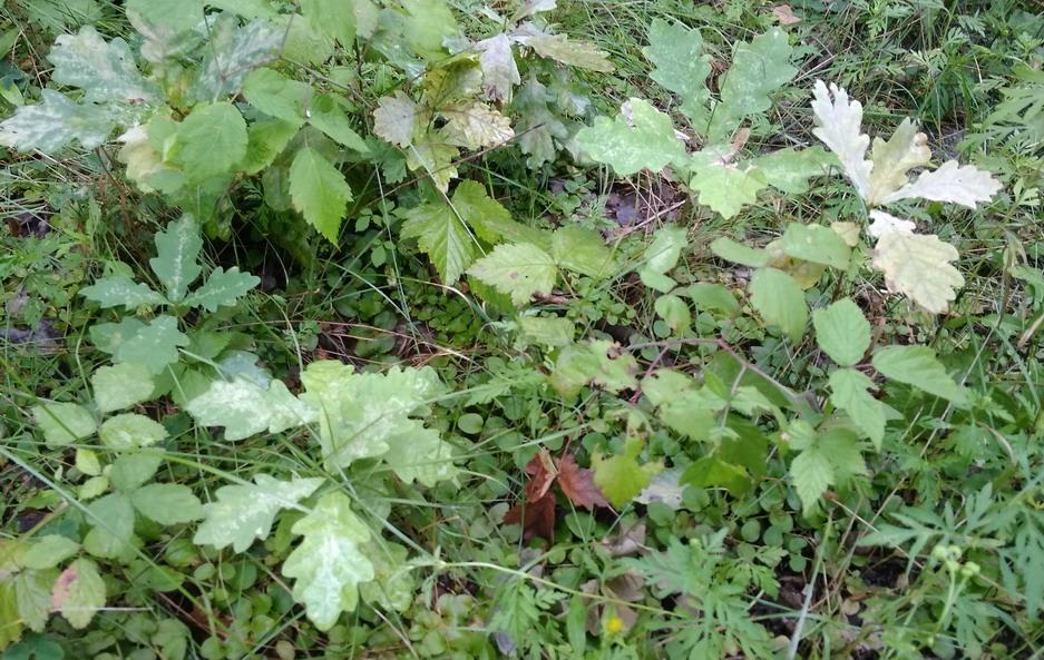 Название: Саженцы дуба в лесу.jpg Просмотры: 189  Размер: 256.6 Кб