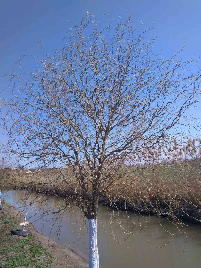 Название: Дерево у озера в Тирасполе.jpg Просмотры: 117  Размер: 270.6 Кб