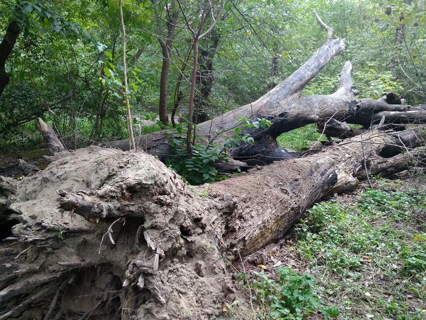 Название: Поваленные деревья в Тирасполе 2018.jpg Просмотры: 67  Размер: 329.1 Кб