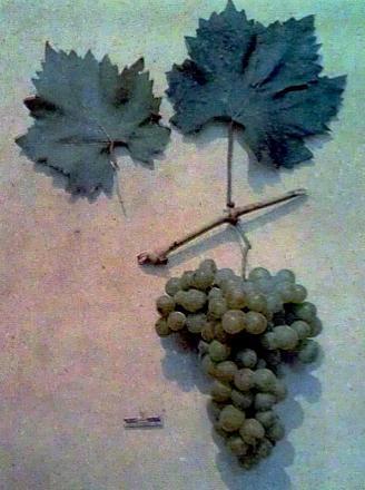 Нажмите на изображение для увеличения Название: Королева виноградника.jpg Просмотры: 419 Размер:71.1 Кб ID:16359