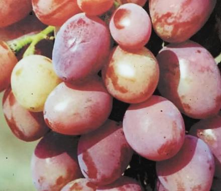 Нажмите на изображение для увеличения Название: Виноград розовая дымка.jpg Просмотры: 421 Размер:66.0 Кб ID:20906