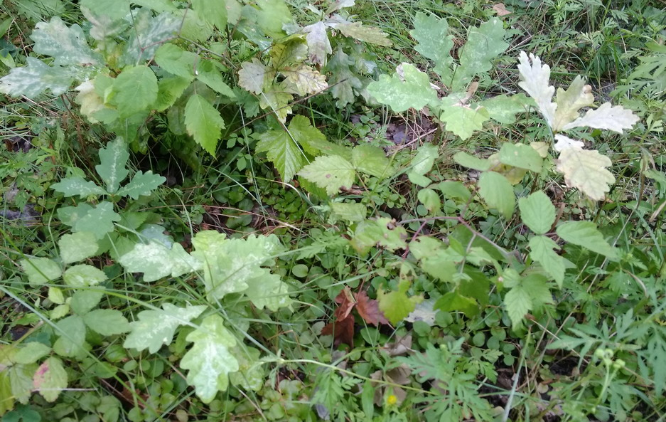 Название: Саженцы дуба в лесу.jpg Просмотры: 626  Размер: 256.6 Кб