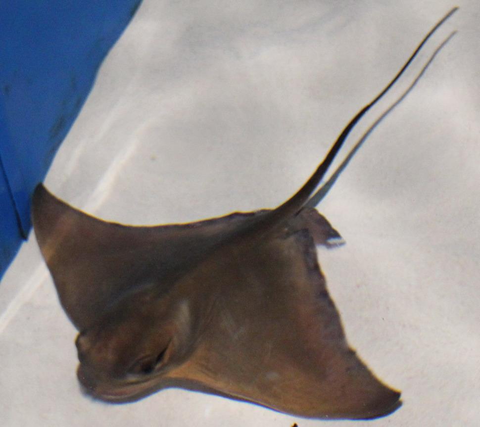 Название: Скат в аквариуме.JPG Просмотры: 72  Размер: 150.8 Кб