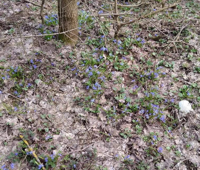 Название: Пролески весной в лесу.jpg Просмотры: 188  Размер: 324.7 Кб