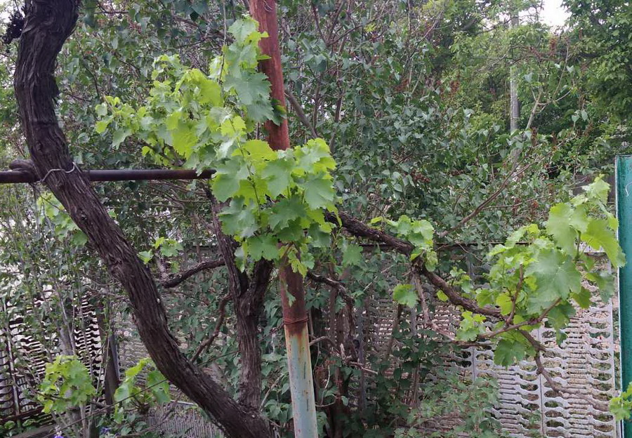 Название: Виноград ПМР 20020.jpg Просмотры: 280  Размер: 330.7 Кб