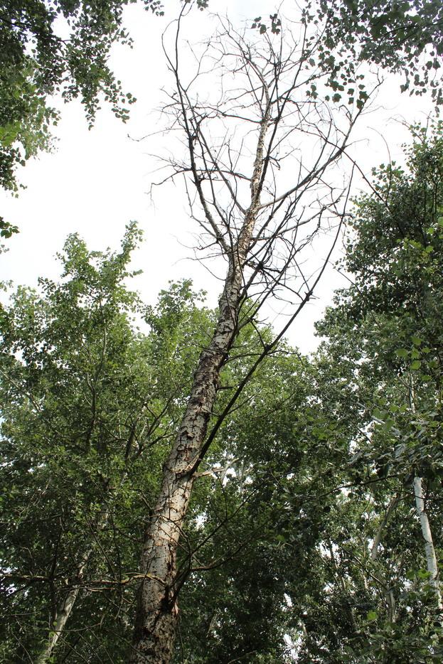 Название: Суходе дерево 2019.JPG Просмотры: 71  Размер: 346.5 Кб