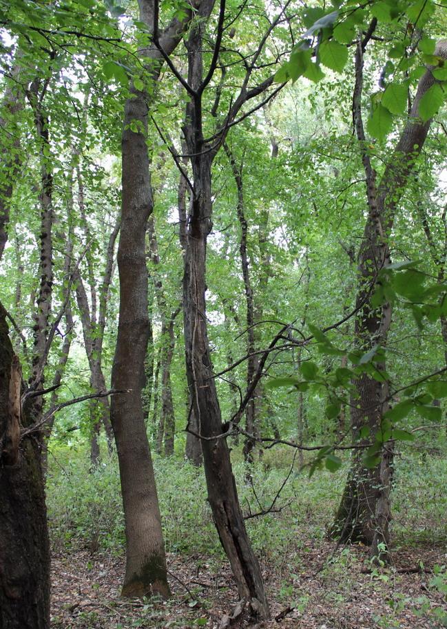 Название: Суходе дерево - Кицканский лес.JPG Просмотры: 62  Размер: 345.7 Кб