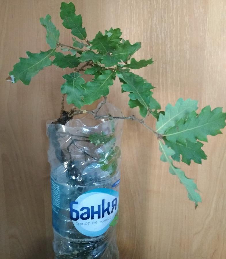 Название: дуб из болгарии.jpg Просмотры: 8  Размер: 152.0 Кб
