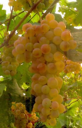 Нажмите на изображение для увеличения Название: Виноград.jpg Просмотры: 883 Размер:49.1 Кб ID:10163