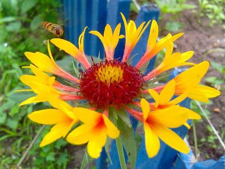Нажмите на изображение для увеличения Название: Пчелка у цветка.jpg Просмотры: 208 Размер:69.5 Кб ID:13819