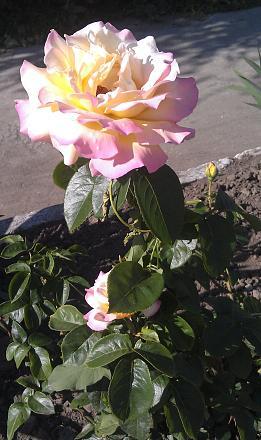 Нажмите на изображение для увеличения Название: Розово-желтая роза.jpg Просмотры: 191 Размер:90.3 Кб ID:18984