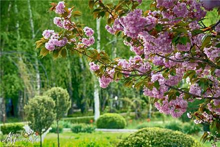 Нажмите на изображение для увеличения Название: Сакура в Тирасполе.jpg Просмотры: 199 Размер:131.7 Кб ID:18985