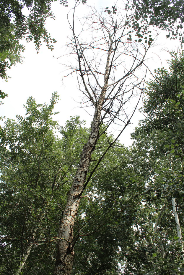 Название: Суходе дерево 2019.JPG Просмотры: 1366  Размер: 346.5 Кб