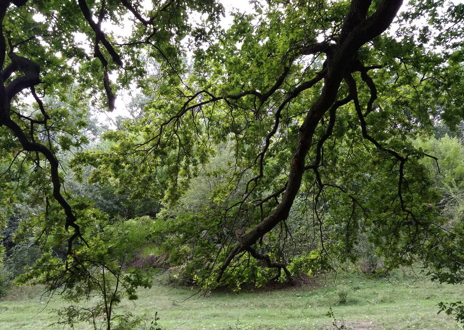 Название: Ветви старого дуба.jpg Просмотры: 134  Размер: 382.4 Кб