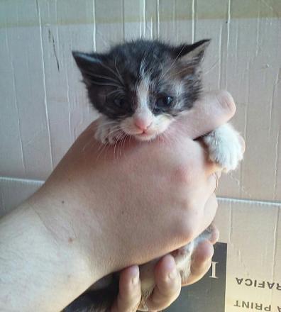 Нажмите на изображение для увеличения Название: Бело-серый котенок.jpg Просмотры: 272 Размер:49.1 Кб ID:18677