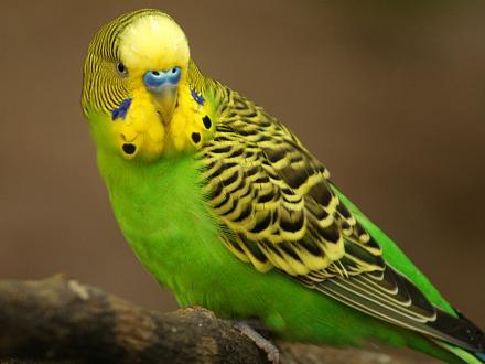 Нажмите на изображение для увеличения Название: Волнистый попугай.jpg Просмотры: 159 Размер:63.4 Кб ID:22749