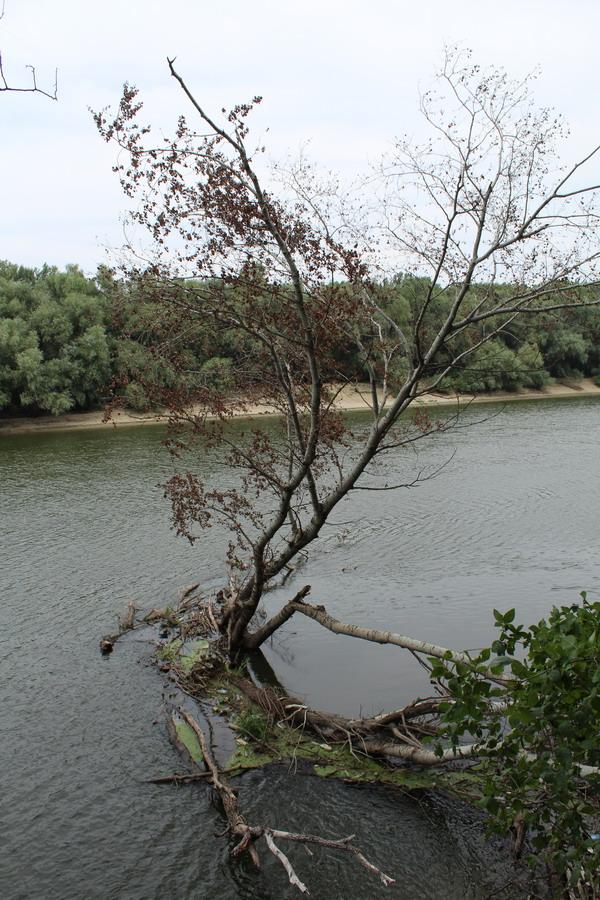 Название: Дерево в Днестре.JPG Просмотры: 3359  Размер: 227.5 Кб